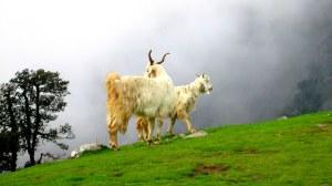 2 sheep best