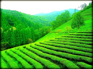Boseong Tea Fields a