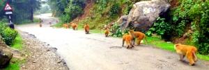 Monkeys on road